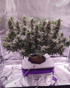 cultivo de cannabis canabis medicinal cbd cbd cbd canabis cultivo de canabis