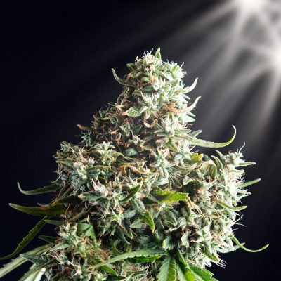marijuana plant on a black isolated background, large buds, cannabis industry, seeds and clones