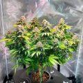 Etapas de crecimiento de la planta de marihuana.